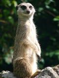 słuchaj suricate wrogów Zdjęcie Stock