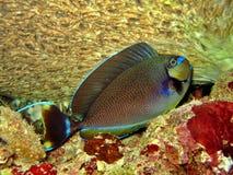 s-unicornfish som vlaming Arkivbild