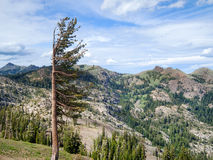 It's always windy at Squaw Peak. Tree has adapted to constant winds near Squaw Peak Royalty Free Stock Images