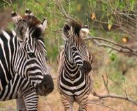 s zebra Obraz Stock