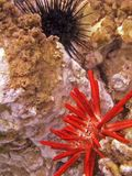 S67 Sea Urchins. Spiny and pencil sea urchins at Kamaoke Beach Stock Images