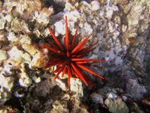 S76 Sea Urchin. Pencil sea urchin at Kamaoke Beach Stock Photo