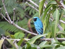 Saí Andorinha macho - Swallow Tanager male. Saí Andorinha macho. Picture from Cosme Velho / Rio de Janeiro. 2015 Stock Photos