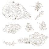 Sałata liść, arugula Obrazy Royalty Free