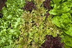 sałata organiczne Fotografia Royalty Free