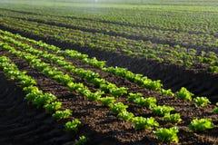 Sałata uprawia ziemię zbliżenie z wodnymi kroplami Obraz Stock