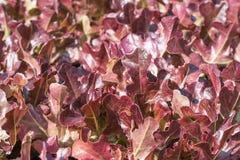 Sałata w hydroponic jarzynowej roślinie Obraz Stock