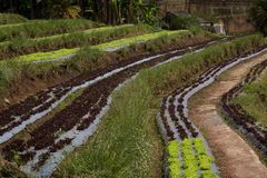Sałata zasadzająca w rzędach na tarasowatym wzgórzu obrazy royalty free