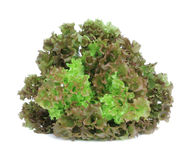 sałaty świeża zielona sałatka Fotografia Royalty Free