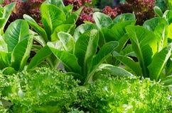 Sałaty i kapusty rośliny na jarzynowym ogródzie Zdjęcia Royalty Free