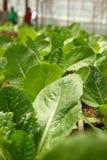 sałaty roślina Obraz Stock