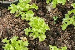 Sałaty rolnictwa jarzynowa roślina fotografia royalty free