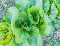 Sałaty zieleń Fotografia Stock