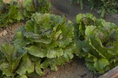 sałatka organicznych Zdjęcia Stock