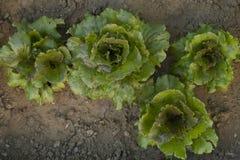 sałatka organicznych Obraz Royalty Free