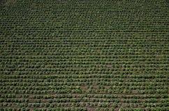 Sałaty pole, rolniczy pole Obraz Stock