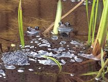 Sa cette époque la grenouille commune - Rana Temporaria - et frai de grenouilles images stock