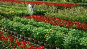 Farmer water the plants at daisy flower farm. SA D Royalty Free Stock Photo