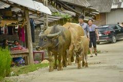 Sa Pa的水牛城,越南 免版税库存图片
