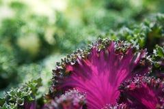 sałat purpury Obrazy Stock