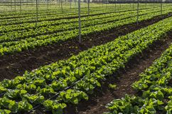 Sałat upraw plantacja Zdjęcia Stock