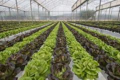 Sałat uprawy Fotografia Stock