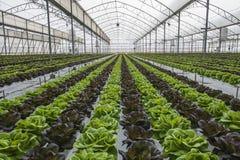 Sałat uprawy w szklarni Zdjęcia Stock