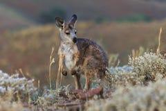 SA Wild Kangaroo Stock Image