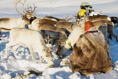 Saami man feeds arctic reindeers in deep snow winter in Tromso region, Northern Norway. Stock Photos