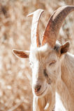 Saanen Billy Goat Royalty Free Stock Photography