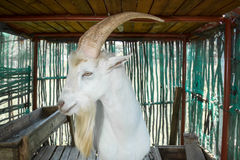 Saanen Billygoat Stock Image