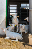 Saanen bread goats at farm Stock Photo