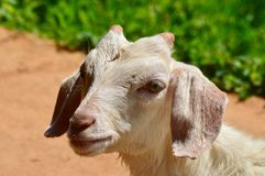 Saanen Goat at Green Tea plantation. Little Saanen Goat at Green Tea plantation in Doi Angkhang, Chiang Mai, Thailand Royalty Free Stock Images