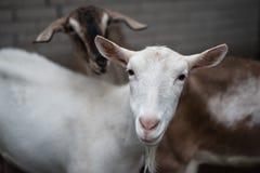 Saanen goat Stock Images
