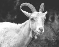 Saanen Goat Portrait C Fine Art Royalty Free Stock Photos
