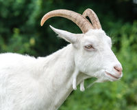 Saanen Goat Portrait D Stock Images