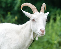 Saanen Goat Portrait A Stock Photos