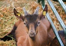 Saanen goatling Royalty Free Stock Image