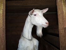 Saanen white goat in barn Royalty Free Stock Photos
