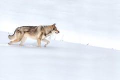 Saarloos走在雪的Wolfdog 免版税库存照片