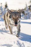 Saarloos走在雪的Wolfdog 图库摄影