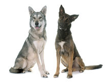 Saarloos dog and malinois. Belgian shepherd malinois and wolf dog in front of white background Royalty Free Stock Photography