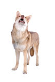 Saarloos wolf dog Stock Image