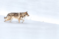Saarloos Wolfdog που περπατά στο χιόνι Στοκ φωτογραφία με δικαίωμα ελεύθερης χρήσης
