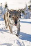 Saarloos Wolfdog που περπατά στο χιόνι Στοκ Φωτογραφία
