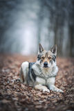 Saarloos Wolfdog στο δάσος φθινοπώρου Στοκ φωτογραφίες με δικαίωμα ελεύθερης χρήσης