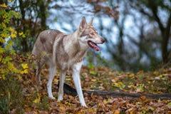 Saarloos Wolfdog Lizenzfreies Stockbild