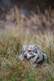 Saarloos Wolfdog Stockbilder