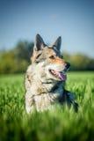 Saarloos Wolfdog Photos stock
