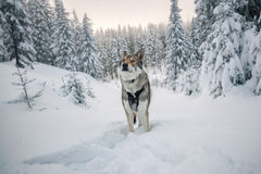 Saarloos Wolfdog Lizenzfreie Stockfotos